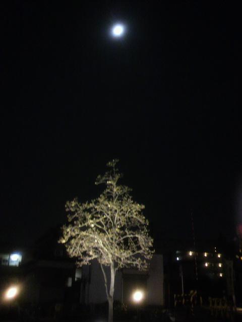 ライトアップされたコブシと月
